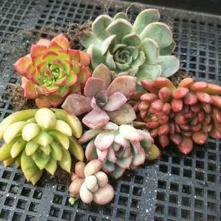Succulent  - sets of 7