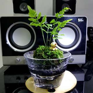Wabi Kusa, Indoor Plants, Office Plants, Aquatic , Gift, Terrarium, Hydroponics , Moss Ball