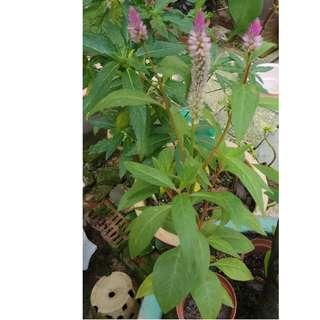 Pink-Purple Arrowhead Flower Plant! (New batch)