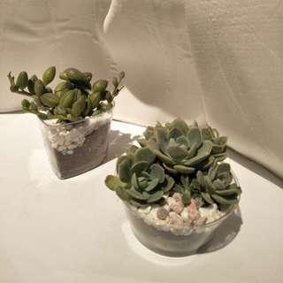 Succulent 1 for $12