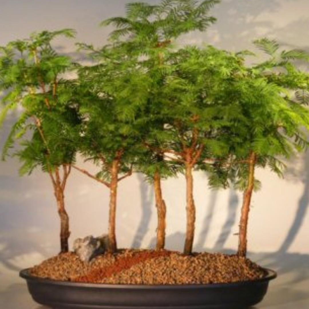 Dawn Redwood Bonsai Tree Metasequoia Glyptostroboides