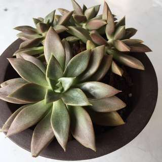 In Stock Now - Succulent imported