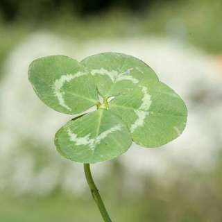 四叶草(Four-leaf clover)  传说中幸运草的四片叶子所代表的意思,有以下两种讲法:  第一片叶子代表希望(hope)、第二片叶子表示信心(faith)、第三片叶子是爱情(love)、而多出来的第四片叶子则是幸运(luck)的象征。  这种说法与基督教的望德、信德和爱德思想相配。 第一片叶子代表真爱(love)、 第二片叶子代表健康(health)、第三片叶子代表名誉(glory)、 第四片叶子代表财富(riches)。