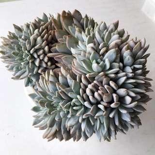 Succulent Echeveria Cristata Crested Huge Cluster