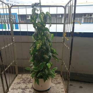 Artificial  Money Tree with vase