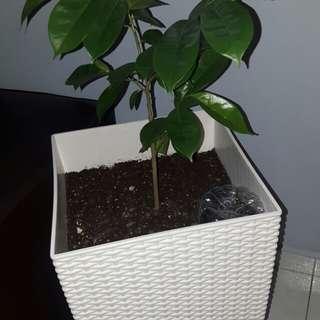 Soursop plant with pot