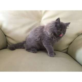 FOR SALE - Persia 3 months old!