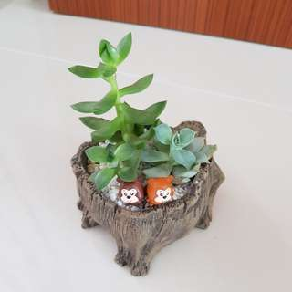 Succulent Plants for Valentine's day gift!