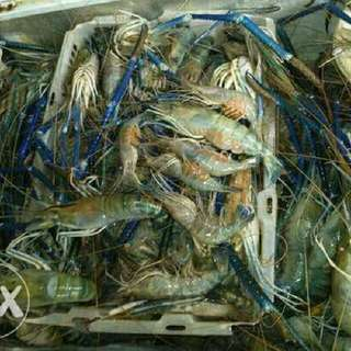 Shrimps Supplier