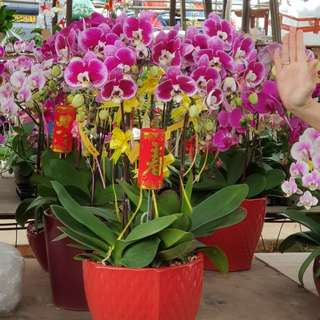 Live Phalaenopsis Orchid plant for CNY