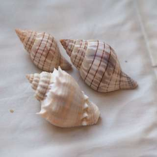 Assorted Conches [Sea Shell]