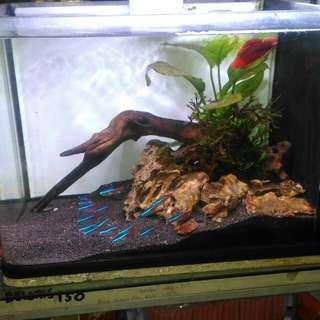 Live plant aquarium anubias in driftwood