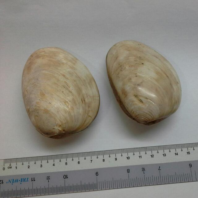 2 Prehistoric Fossil Clam Shells, Big Size Shell
