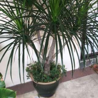 Adenium, Draco, palm plants