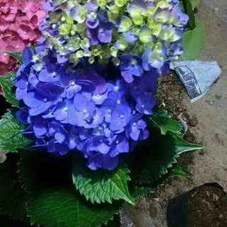 Hydrangeas rooted plants for sale