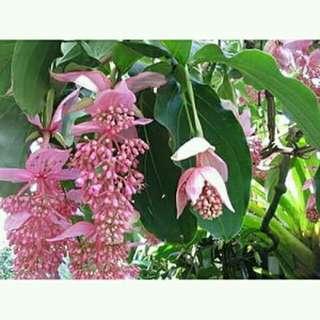 Medinilla Plant for sale