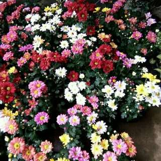 Malaysian Mums (Rooted Plants)