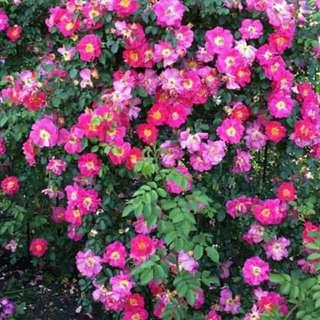Climbing rose seedlings