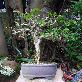 Shui mei bonsai - small