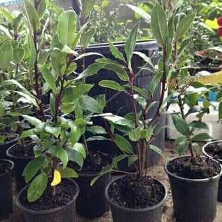 Rooted BayLeaves (Laurel)