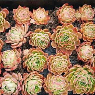 😍RARE SUCCULENTS: W060 - Echeveria Agavoides Sp (FIRST COME FIRST SERVE! VERY LIMITED STOCKS!)😱