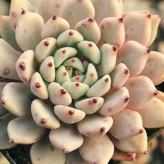 😍RARE SUCCULENTS: V012 - Echeveria Mexensis Zaragosa (FIRST COME FIRST SERVE! VERY LIMITED STOCKS!)😱