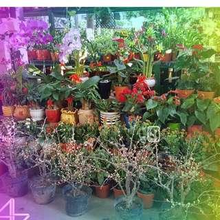 CNY plants on sales