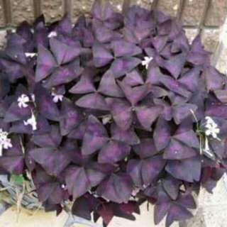 Rooted Purple shamrock (butterfly leaves)