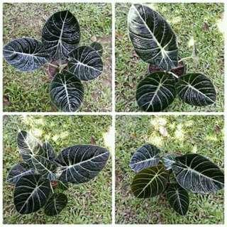 Alocacia (black velvet)