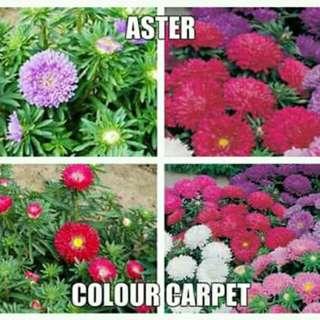 Aster colour carpet seeds