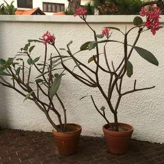 Plants - Pink Frangipani