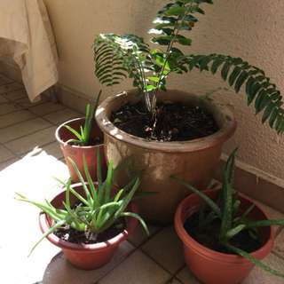 Fern and Aloe vera