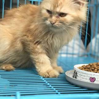 Kucing persia medium betina
