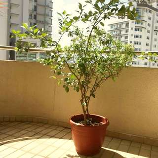 Tulsi and Lime tree combined