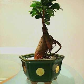 CNY Plant in auspicious pot