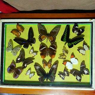 Framed butterfly butterflies specimens of different types, collection collectibles