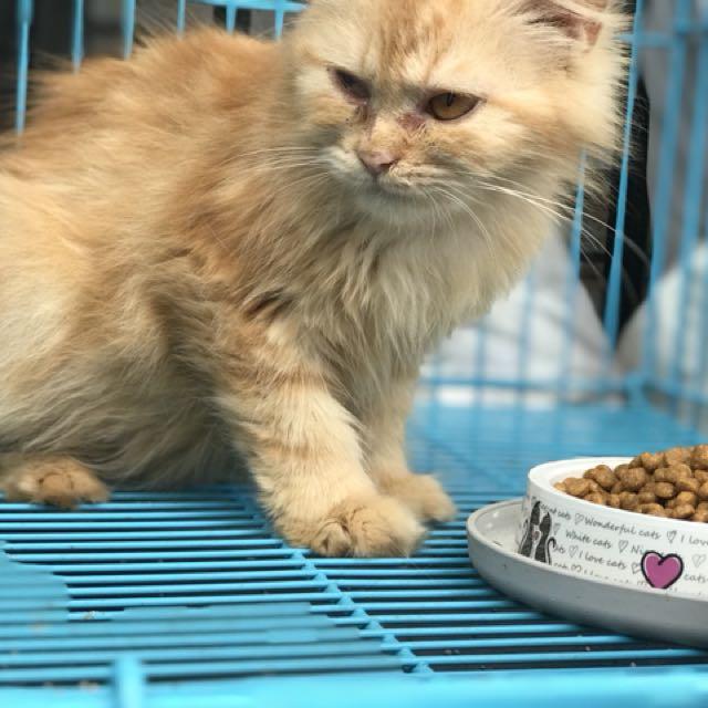 Kucing persia medium betina