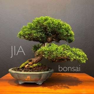 Reserved Japanese Shohin Shimpaku Bonsai