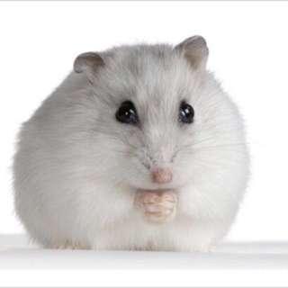 Hamster winter white ready list grey dan white bandung only  murah lucu terawat peliharaan baju celana