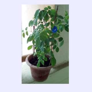 Blue Pea Plant 蝶豆花