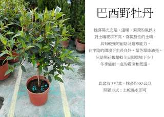 心栽花坊-巴西野牡丹/紫牡丹/巴西紫牡丹/7吋/觀花植物/綠籬植物/綠化植物/售價160特價140