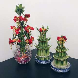 🔥🔥CHINESE NEW YEAR LUCKY BAMBOO