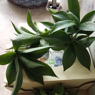 Large sized agave plants