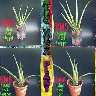 Aleo Vera Plant - Benefits