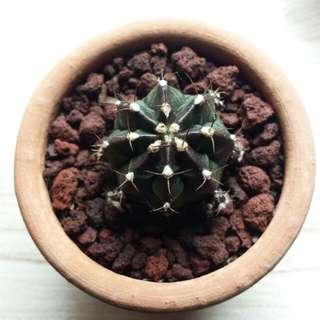Cactus / Succulent - gymnocalycium mihanovichii
