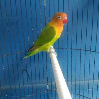 Love bird fulset kerodong