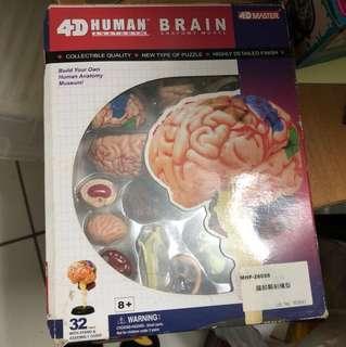 🚚 腦部解剖模型
