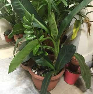 Facai plant