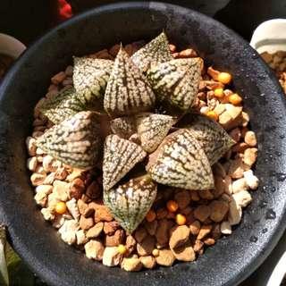 (Collector's series) Haworthia Emeleyae Poelln - 6cm
