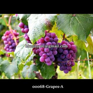Framed Picture for your wall GRAPES A-B-C-D -- 00068